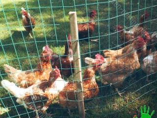 Thanks to the chicken netting CHICKENMALLA the birds can not access the cages and the farm is free of diseases
