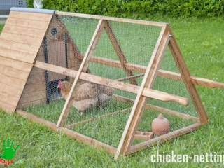 Adult chicken confined by polypropylene poultry netting by CHICKENMALLA